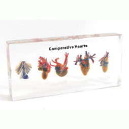 Comparative Hearts
