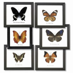 Butterfly Frame 5 In. Single